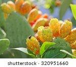 Many Ripe Indian Fig Opuntia O...