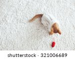 Stock photo cute little ginger kitten wearing warm knitted sweater is playing with pet toy on white carpet 321006689