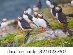 Puffins At The Farne Islands I...