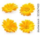 Calendula Marigold Flower Isolated White - Fine Art prints