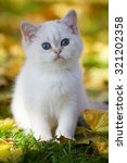 Stock photo cute british kitten with blue eyes sitting in autumn fallen yellow foliage 321202358