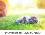 Stock photo gray kitten with blue eyes walking on the grass in sunny day 321507800