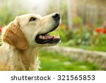 Adorable Golden Retriever On...