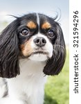 king charles spaniel playing... | Shutterstock . vector #321594296