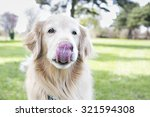 Golden Retriever Licking Lips
