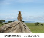 Cheetah Sitting On A Rock And...
