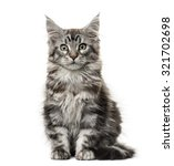 Stock photo maine coon kitten in front of white background 321702698
