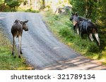 Three Adult Mooses At The Side...