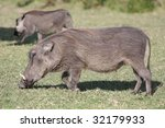 warthogs in south africa   Shutterstock . vector #32179933