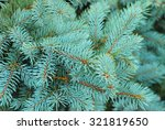 Blue Spruce Branches On A...