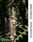 Small photo of SAO PAUL0, SP, BRAZIL - AUGUST 9, 2015 - Bear's Breech or Mountain Thistle, Acanthus montanus, plant originating in Mediterranean region and tropical Africa