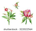 watercolor pinky peon and buds  | Shutterstock . vector #322022564