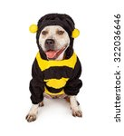 Cute And Funny Pit Bull Dog...