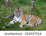 siberian tiger  panthera tigris ... | Shutterstock . vector #322037516