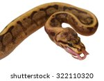 Python Royal Python Eating A...
