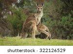 Female Eastern Grey Kangaroo ...