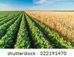 green soybean field alongside...