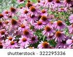 Echinacea Purpurea  Purple...