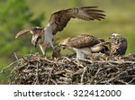 Female Osprey Brought The Fish...