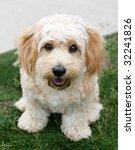 adorable cavachon puppy - stock photo