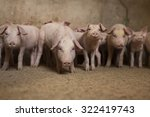 Group Of Little Pigs Waiting...