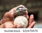 Baby Giant Tortoise And Egg On...