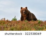 Big Male Bear On The Hill With...