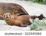 baby puppy australian sea lion... | Shutterstock . vector #322545383