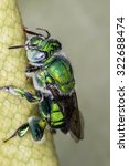 Small photo of Green Bee close up - Agapostemon sp. macro photo