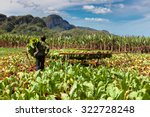 Постер, плакат: Tobacco plantation in the