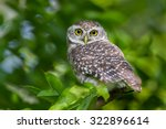 Close Up Of Spotted Owlet...