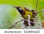 Olive Backed Sunbird Cinnyris...