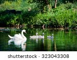 White Swan Swimming With Young...