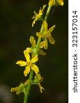 Small photo of Common agrimony is a medicinal plant. Latin name - Agrimonia eupatoria