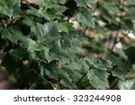 Small photo of Taiwan Buerger Maple (Acer buergerianum)