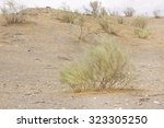 Small photo of Isolated desert plants (Retama sphaerocarpa)