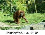 orangutan | Shutterstock . vector #3233105