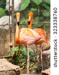 Small photo of The American flamingo (Phoenicopterus ruber)