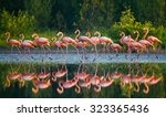 Caribbean Flamingo Standing In...