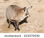 portrait of bat eared foc ... | Shutterstock . vector #323370530