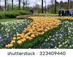Colorful Blossing Tulips In...