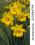Yellow Daffodil Flowers In The...
