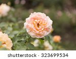 Two Tone Rose Blooming In A...