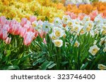 narcissus and tulips flowers ... | Shutterstock . vector #323746400