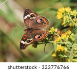 Buckeye Butterfly On A...