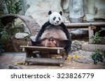 Very Big Panda Relaxing And...