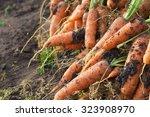 carrots from the garden bed | Shutterstock . vector #323908970