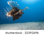 Rear View Of A Common Lionfish...