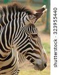 zebra   Shutterstock . vector #323955440