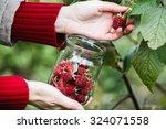 raspberry picking. woman... | Shutterstock . vector #324071558